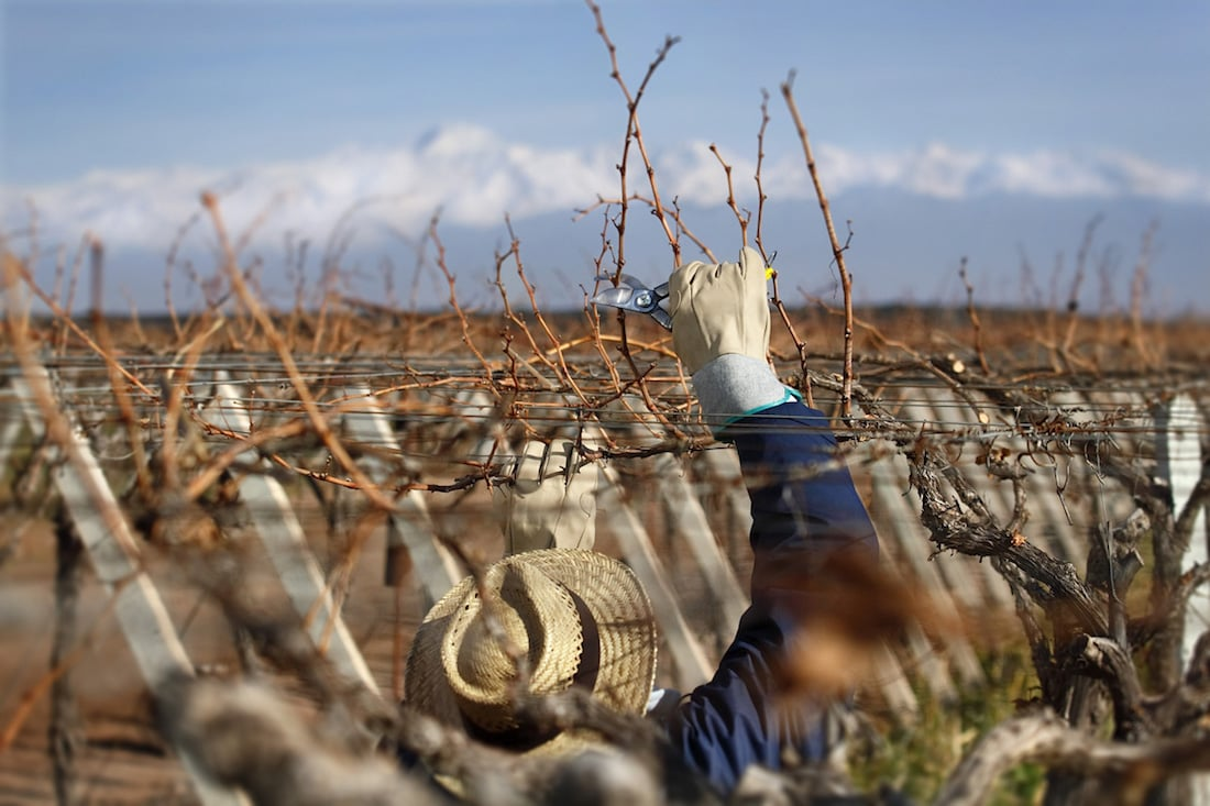 Pruning & caring for the Zuccardi vines, Mendoza