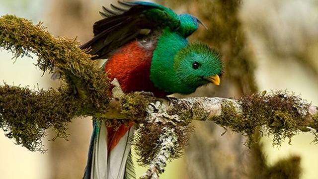 Quetzal, Caño Negro Costa Rica