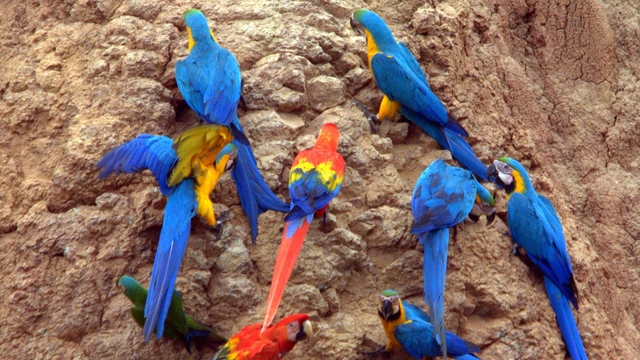 Macaw clay lick, Peruvian Amazon
