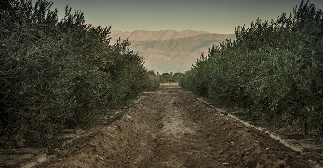 Familia Zuccardi olive groves, Mendoza