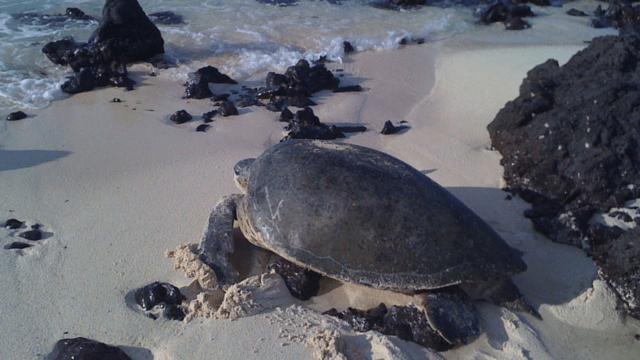 Green Sea Turtle, Costa Rica