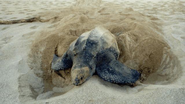 Leatherback Turtle, Costa Rica