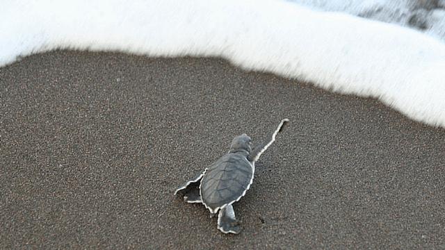 Loggerhead Turtle, Costa Rica
