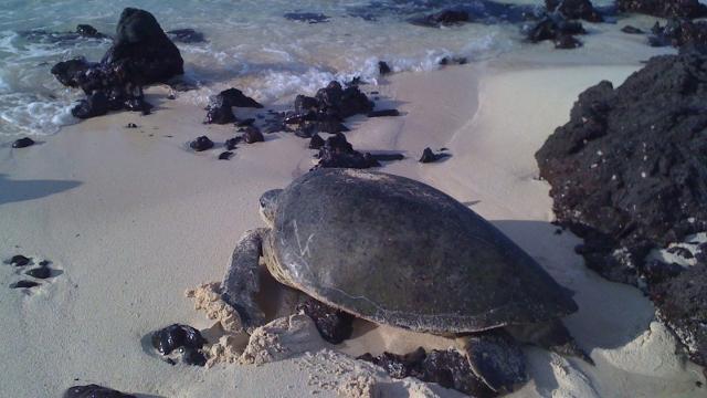 Tortuguero - Turtle