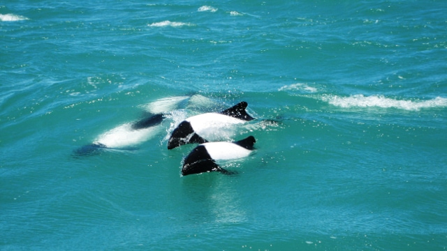 Commerson's Dolphin Peninsula Valdes