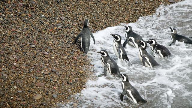 Magellan Penguins Peninsula Valdes