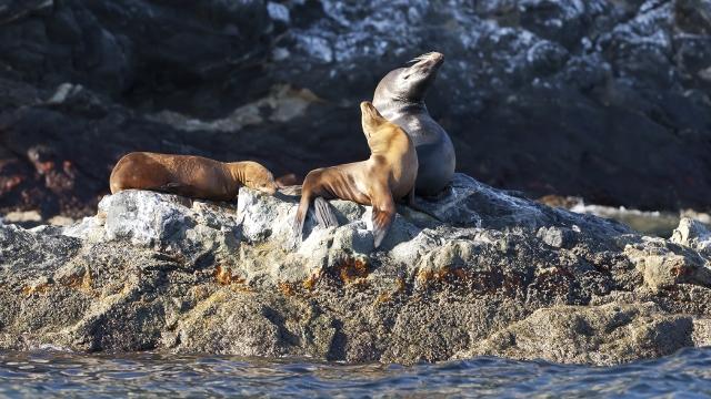 Peninsula Valdes sea lions