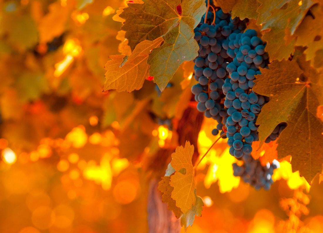 Mendoza grapes in full fall harvest.