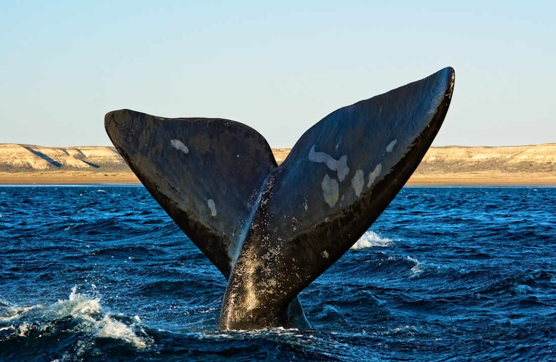 Southern Right Whale tail in Puerto Madryn.