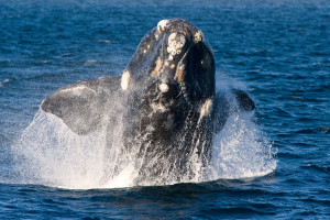 Whale watching in Puerto Madryn Argentina