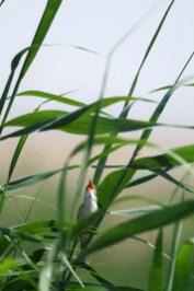 Clamorous reed-warbler, Rousserolle stentor, Acrocephalus stentoreus-maxime-passerault