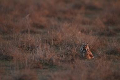 Long-eared owl, Hibou moyen-duc, Asio otus