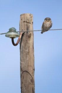 Little owl, Chevêche d'Athena, Athene noctua