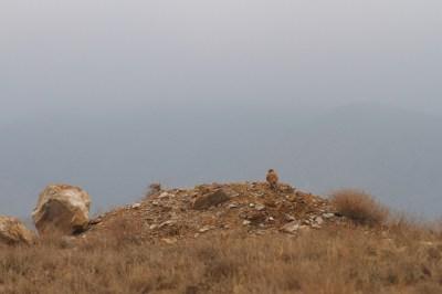 Common kestrel, Faucon crécerelle, Falco tinnunculus