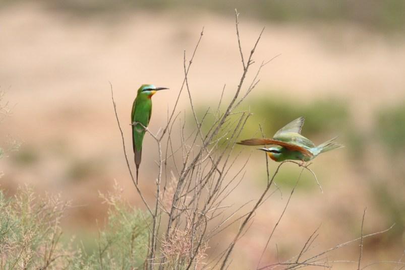 Blue-cheeked bee-eater, Guêpier de Perse,Merops persicus