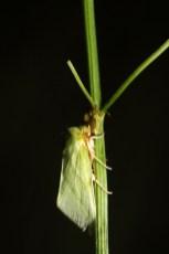 Green silver-lines, la Halias du hêtre, Pseudoips prasinanus