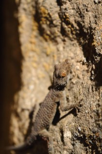 Gecko, Tenuidactylus fedtschenkoi