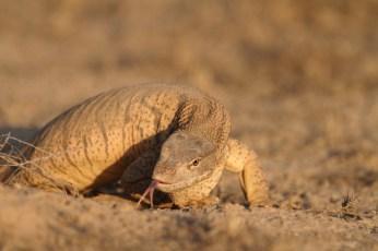 Desert monitor, Varan gris, Varanus griseus