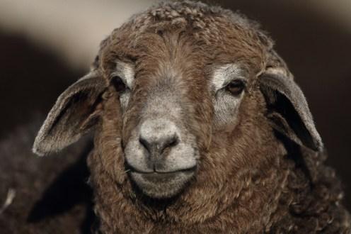 sheep, mouton