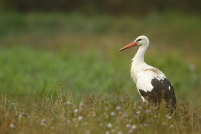 White stork, Cigogne blanche, Ciconia ciconia