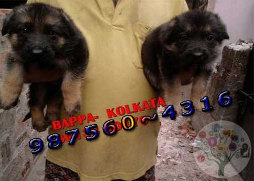 GERMAN SHEPHERD Champion Quality Dogs Ready For Sale At