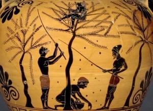 Farming olives