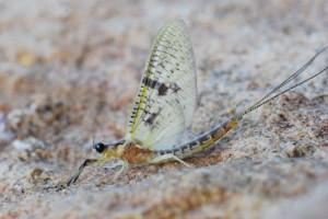Photo of Yellow Drake Mayfly
