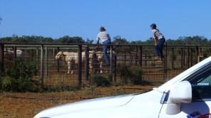 Mustering at Comarto... those big boys are Charolais bulls.