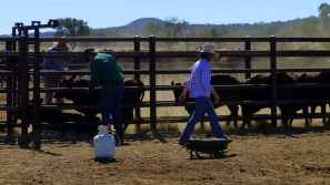 Cattle in the yards being branded and tagged