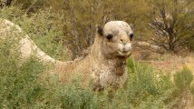 A camel in the bush