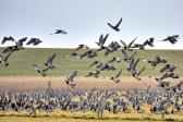 Geese in Ameland, Photo by Frans Schouwenburg
