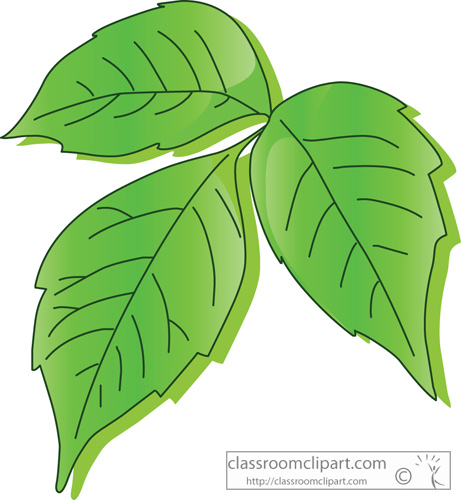 plants poison ivy leaf classroom
