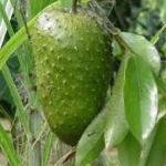Typical Uses of soursop as fruit
