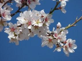almond-flower-2088732_960_720