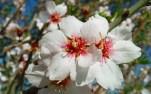 flores-de-almendro-1280x800