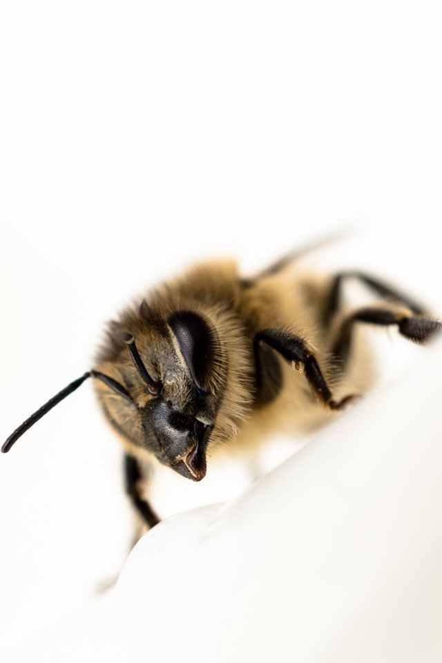 animal bee blur close up