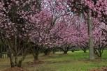 Parque-do-carmo-cerejeiras_08
