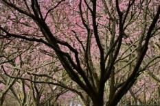 Parque-do-carmo-cerejeiras_15b