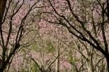 Parque-do-carmo-cerejeiras_15c