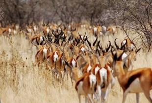 bando de Springboks