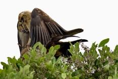 Tawny Eagles acasalando