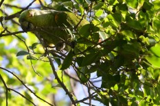 Ibirapuera-birdwatching-abr16_26