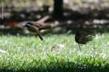 Ibirapuera-birdwatching-abr16_37
