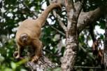 macaco-prego-galego_104