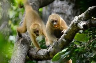 macaco-prego-galego_115