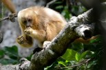 macaco-prego-galego_116