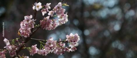 cerejeiras_17