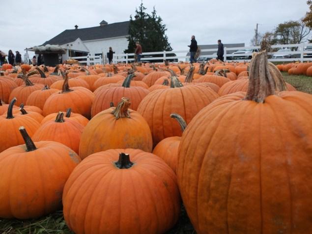 Pumpkin Farm Massachusetts