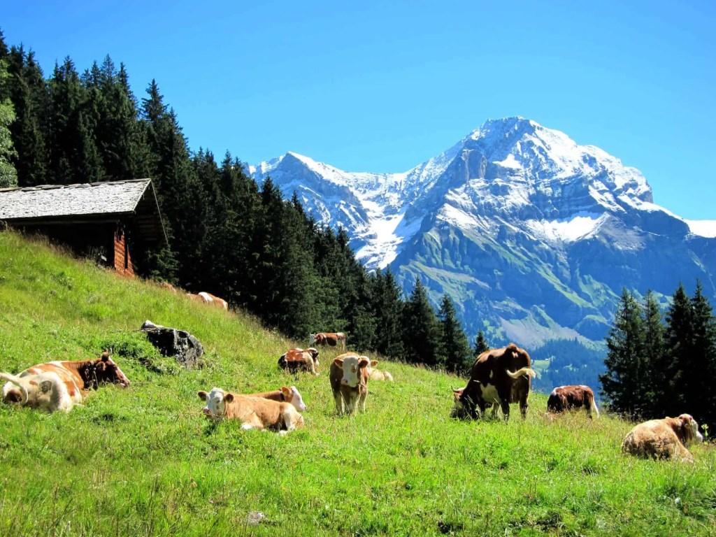 cows in alpine grass in adelboden