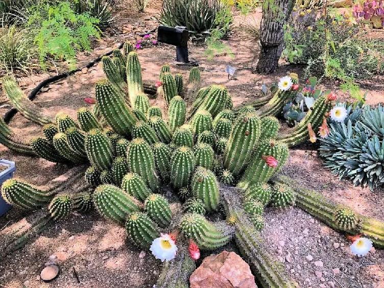 giant cactus in bloom in tempe